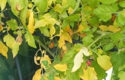 Почему желтеет листва у помидоров