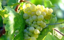 Боремся с болезнями винограда (вредоносный букет)