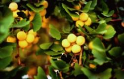 Гинкго билоба – дерево из юрского периода