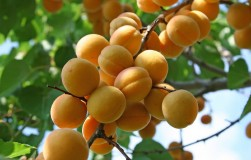 Sos! на абрикос напал монилиоз