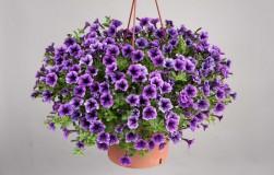Универсальный рецепт удобрения для богатого цветения (калибрахоа, герань, петуния и другие)