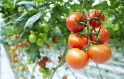 Почему скручиваются листья на помидорах?