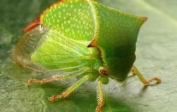 Буйволовидная цикадка – опасный вредитель винограда