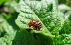 Почему колорадский жук не помирает