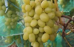Бомбовые сорта винограда, приобретающие популярность