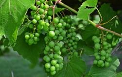 Что делать с виноградным горохом