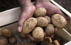 Картофелем лечили похмелье