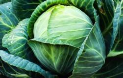 ГМО-капуста опасна для вредителей?