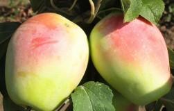 Кандильные яблоки любят в Европе