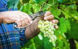 Определение зрелости винограда