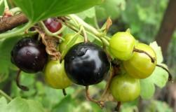 Йошта – урожайный гибрид