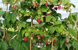 Как ухаживать за малиновым деревом