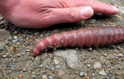 Самый большой дождевой червь
