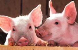 Все ли вам известно о таких животных, как свиньи?Вся правда и мифы
