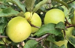 Почему не растут плоды у Голден Делишес