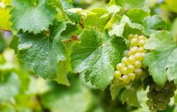 Почему осыпаются листья у винограда