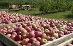 Яблочки долежат до весны