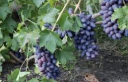 Байконур на винограднике