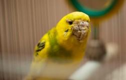 Кнемидокоптоз птиц