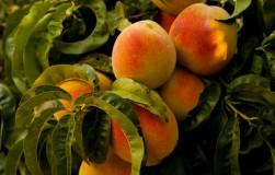 Почему персики стали горькими