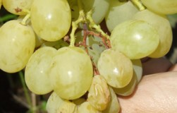 Паралич гребней винограда