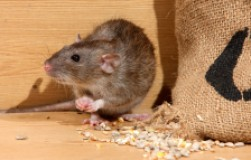 «Последний завтрак» для... мыша