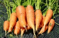 А морковка-то усохла…