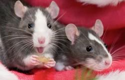 Микоплазмоз декоративных крыс