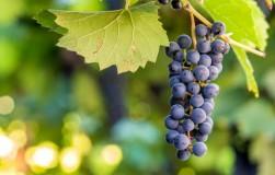 Трихопол для винограда