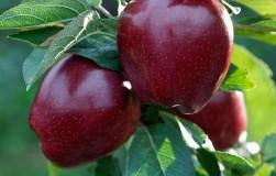 Сорта яблок, которые заставят соседей позеленеть от зависти