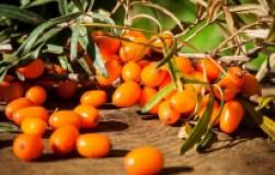 Садовое золото – облепиха