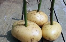 Черенок в картошке