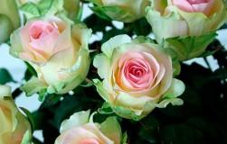 Долгоцветущие сорта роз – какие сорта выбрать чтобы радовали все лето
