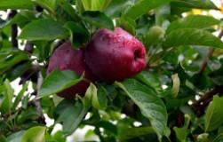 Удобрения для сладости яблок
