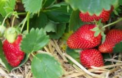 Почему клубника плохо плодоносит
