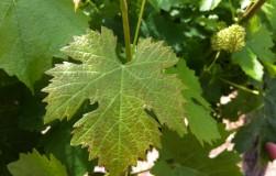 Зачем винограду фольга