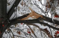 Если ветка сломалась: нужно ли ремонтировать дерево зимой…