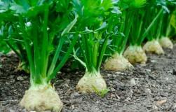 Хочешь быть здоровей − посади сельдерей