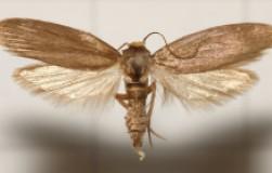 Пчелиная огневка – уникальный дар природы
