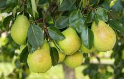 Как исправить грушу