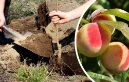 В оттепели сажайте персики