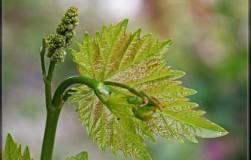 Почему верхушка виноградного побега изогнута