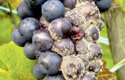 Плесень на винограде Как бороться?