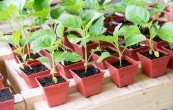 Особенности выращивания рассады баклажанов