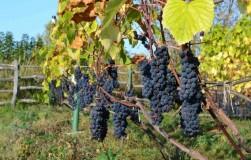 Попробуйте иначе выращивать виноград