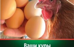 «Здравур Несушка» - куры яйцами завалили!