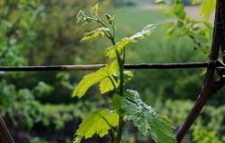 Все о побегах винограда