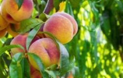 Чтобы персики были крупными и сладкими