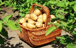 Ускоряем урожай картошки