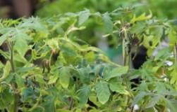 Помощь растениям после заморозков